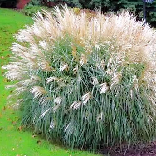 Miscanthus sinensis Adagio MAIDEN GRASS Seeds