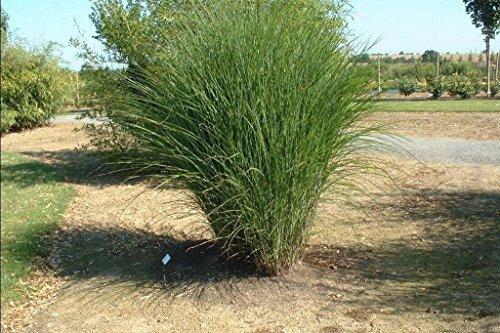 Miscanthus sinensis Gracillimus MAIDEN GRASS Seeds