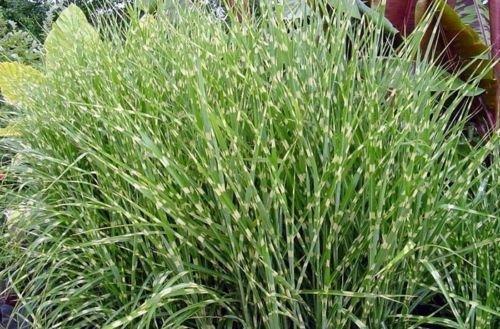 Miscanthus sinensis Zebrinus ZEBRA MAIDEN GRASS Seeds