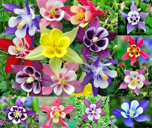200 Columbine Mckana Giants Flower Seeds Perennial Aquilegia Caerulea Colorful Attracts Bees And Hummingbirds
