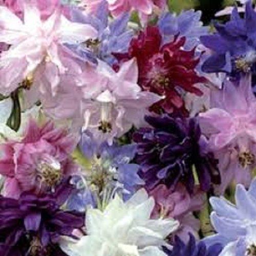 25 Aquilegia Columbine Barlow Mix Flower Seeds  Vulgaris  Perennial