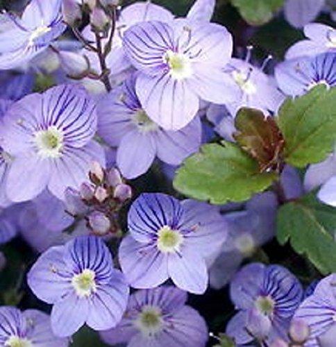 50 Veronica Creeping Blue Speedwell Flower Seeds  Perennial