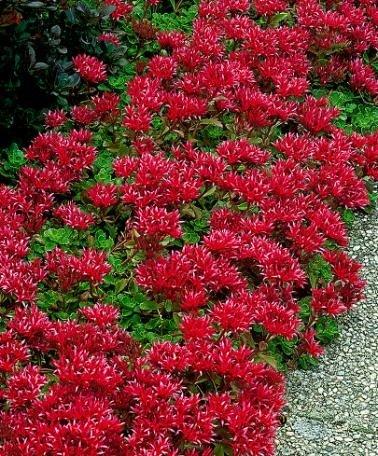 Sedum-creeping Reddragons Bloodquotstonecrop&quot ~ground Cover~ 25 Perennial Seeds