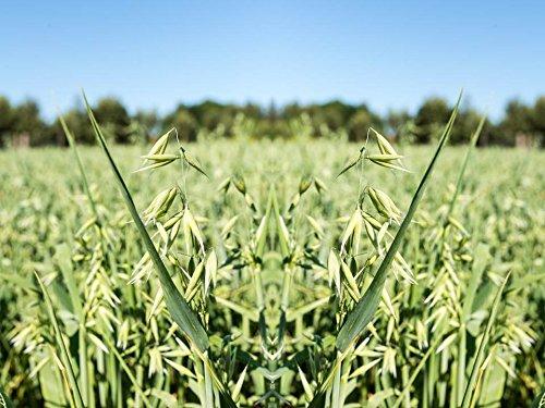 375 Seeds Oat Avena Sativa 12 oz - Many Sizes Grass Plot Fodder Easy Turf