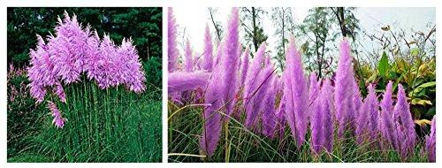 Bigfuntoys, Purple Pampas Grass Seeds Ornamental Plant Flowers Cortaderia Selloana Grass Seeds 1 Pack - 100 Seeds