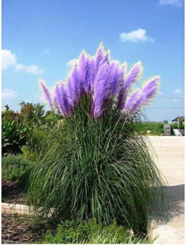Rare Purple Pampas Grass Seeds Ornamental Plant Flowers Cortaderia Selloana Grass Seeds 1 Pack - 1200 Seeds /