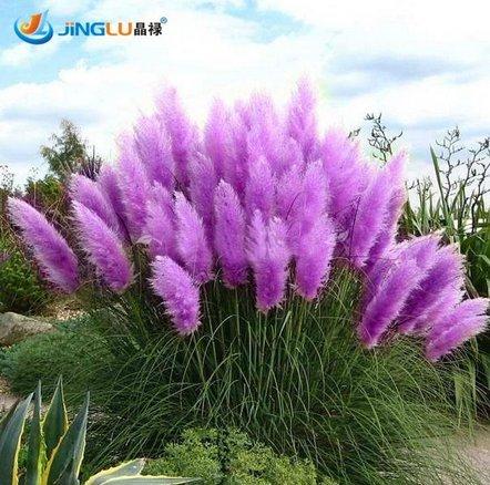 Rare Purple Pampas Grass Seeds Ornamental Plant Flowers Cortaderia Selloana Grass Seeds 100 Pieces / Lot