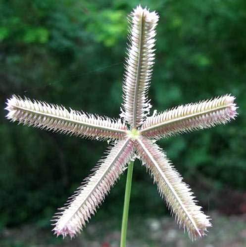 Crowfoot Grass 50 Seeds Fresh This Seasons Harvest from My Garden