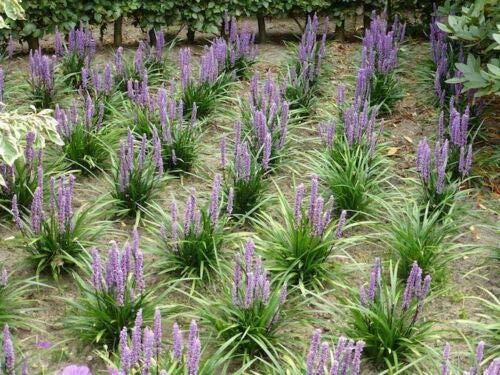 airlarry- Liriope Grass 100 Seeds Fresh This Seasons Harvest from My Garden