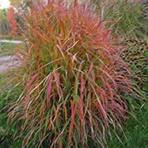 airrais Home Garden Balcony Miscanthus Sinensis Purpurascens Grass Seeds Grasses