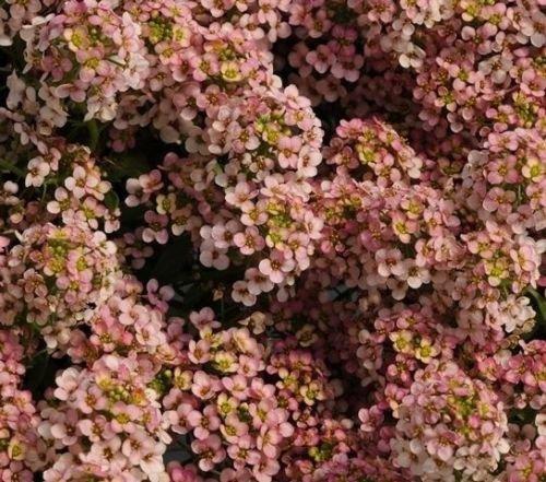 1000 Alyssum Seeds Easter Bonnet Peach Excellent edging plantintense flowers