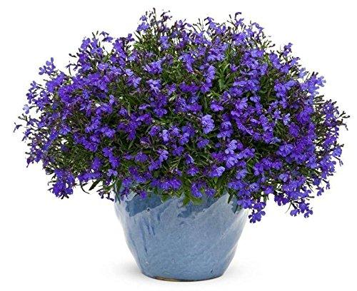 Lobelia Seeds Cobalt BlueBlue Carpetshowydependable edging plantperennial1000 Seeds