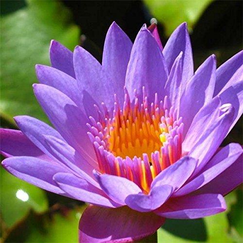10pcs Purple Daisy Lotus Seeds Garden Water Pond Plants
