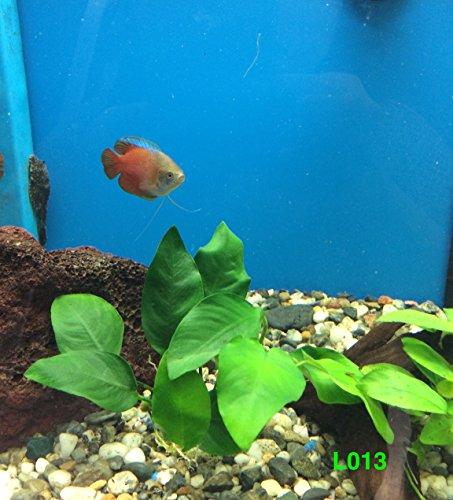 Anubias barteri broad leaf Loose Plant L013 - Live Aquatic plant - Buy 2 Get 1 FREE