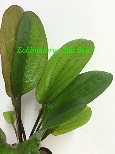 Echinodorus big Bear - Potted P180- Live Aquatic Plant - Buy 2 Get 1 Free