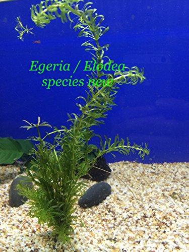 Egeria  Elodea species new - Potted Plant P309 - Live Aquatic Plant Online - Buy 2 Get 1 Free