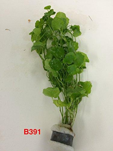 Exotic Live Aquatic Plant Cardamine lyrata sp Indo Bundle B391 by Jayco BUY 2 GET 1 FREE