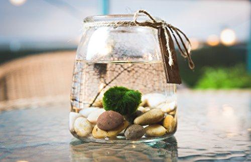 Hinterland Trading Live Aquatic Marimo Moss Ball Plant Pet Glass Aquarium Kit