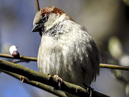 Sperling Songbird Sparrow Bird House Sparrow Vivid Imagery Laminated Poster Print 24 x 36