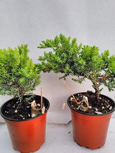 Jmbamboo - Two Tree Bonsai Juniper Garden 4 Pot With Fishman