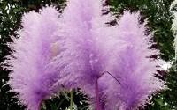 C-pioneer1000-Pcs-Rare-Purple-Pampas-Grass-Seeds-Ornamental-Plant-Flowers8.jpg