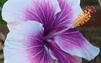 10-Dinnerplate-Hibiscus-Purple-Cream-Perennial-Flower-Seed-Easy-To-Grow-Huge-10-12-Inch-Flowers4.jpg