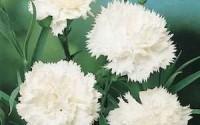 30-Pure-White-Carnation-Flower-Seeds-perennial15.jpg