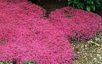 500-Bulk-Perennial-Flower-Garden-Groundcover-Seeds-Creeping-Thyme-quot-scarlet-quot-7.jpg