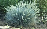 BULK-WHOLESALE-Blue-Fescue-ornamental-grass-1-4-oz-1-oz-1-4-lbs-1-lbs-seeds-15.jpg