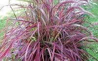 50-Seeds-Pack-Half-hardy-Perennial-Pennisetum-Setaceum-fireworks-Fountain-Grass-Seeds-14.jpg