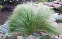 500-Seeds-Stipa-Tenuissima-Seeds-Mexican-Feather-Grass-Perennial-Ornamental-Grass19.jpg