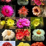 Flowering-Cactus-Mix-Rare-Garden-Cacti-Exotic-Desert-Succulent-Seed-50-Seeds7.jpg
