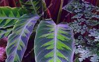 Brand-New-Purple-Calathea-Plants-Seeds-Ice-Cream-Indoor-Flowers-Garden-Decoration-Bonsai-Pot-for-Office-Desk-50-pieces-14.jpg