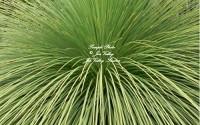 Xanthorrhoea-Australis-Seeds-Grass-Australian-Native-Drought-Tolerant-Xeriscape23.jpg