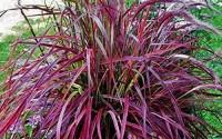 Half-hardy-Perennial-Fountain-Grass-Pennisetum-Setaceum-Fireworks-Seeds-50-Seeds-Bag-Pennisetum-Seed7.jpg