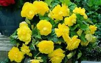 Flower-seeds-Begonia-Terry-Yellow-Perennial-39.jpg