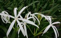 Pond-Plant-Bog-Lily8.jpg