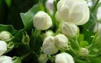 20seeds-bag-Jasmine-seed-indoor-plants-perennial-flower-seeds-17.jpg