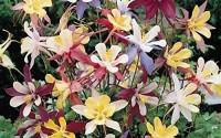 Columbine-Seeds-Aquilegia-Biedermeier-Lowest-Growing-Columbine-Perennial-30.jpg