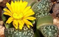 Lithops-Naureeniae-Rare-Mesembs-Exotic-Succulent-Living-Stones-Cactus-15-Seeds-46.jpg