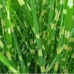 Risalana-Zebra-Grass-Seeds-Miscanthus-Zebrinus-Seeds-Ornamental-Grass-Perennial-Plant-Striped-Foliage-19.jpg